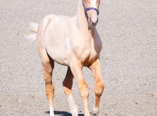 PL Babycham (SP Blue Eyed Ghost x Corlando)