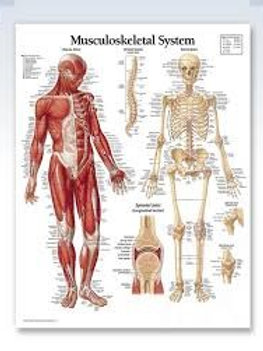 Week 8 Musculoskeletal System & Mid term