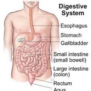 Week 11 Digestive system