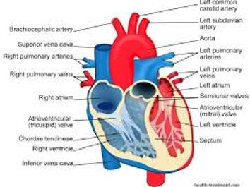 Week 10 Cardiovascular system