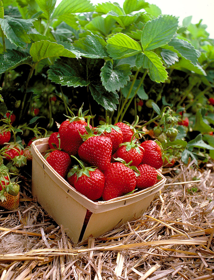 Strawberries in Field.jpg