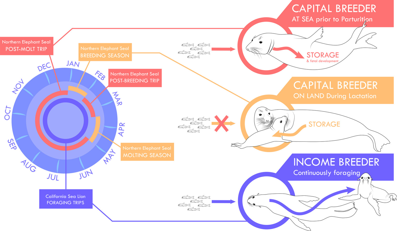 Capital versus Income Breeding