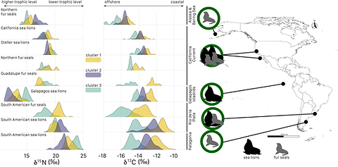 This figure summarizes the carbon and nitrogen isotopic composition of more than 300 individuals of fur seals and sea lions from the Northern and Southern hemispheres that I am studying for one of my dissertation chapters.