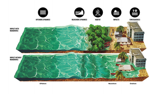 Mangroves and Flood Risk - Forces of Nature Graphic