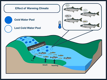 Graphical Abstract that shows the effect of a warming climate on the availability of cold water pools for chinook salmon in their natal creek.