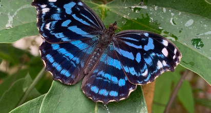 magic-wings-butterfly-conservatory-blue