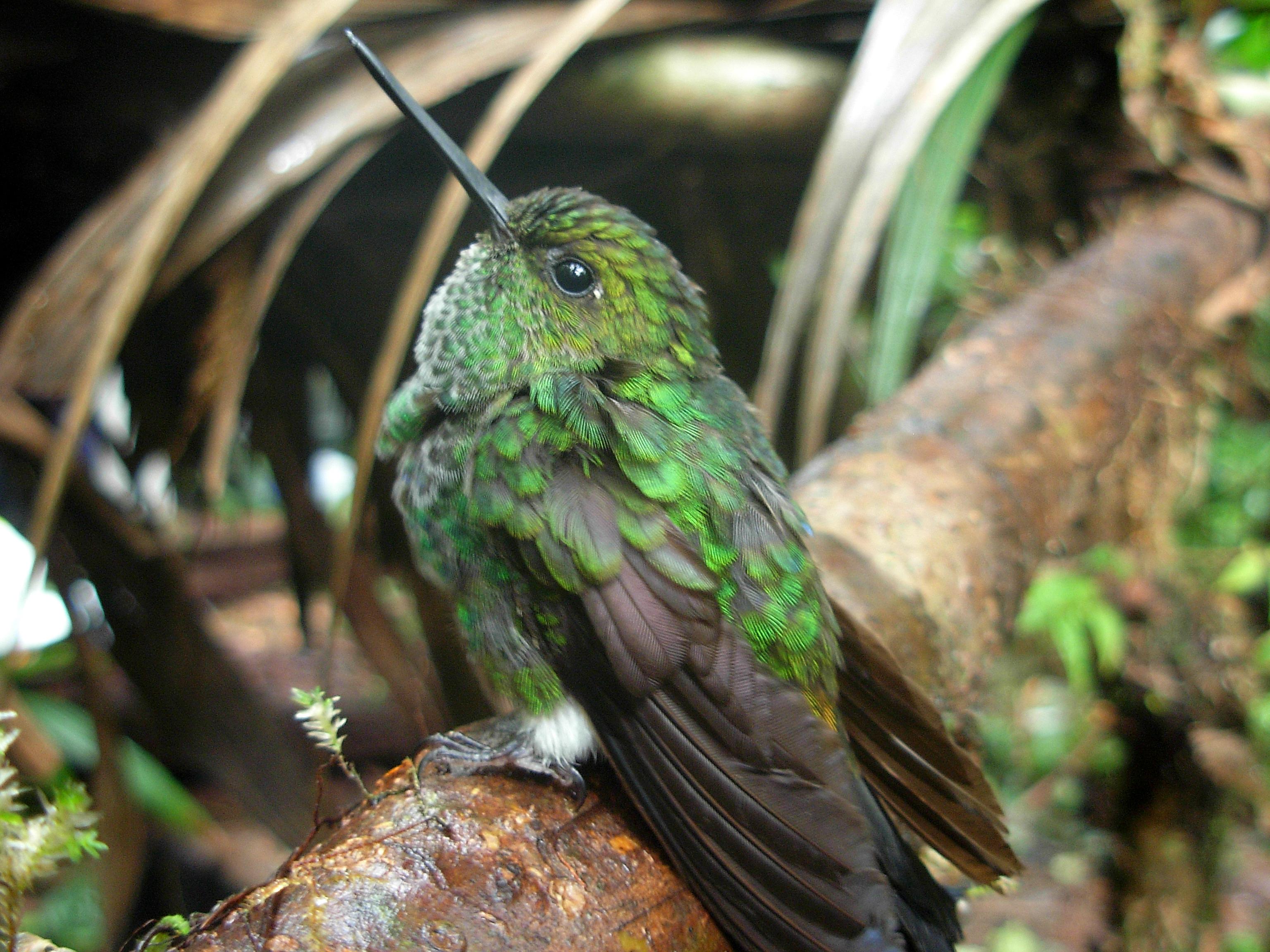 Haplophaedia aureliae - Juan Miguel Ruiz Ovalle