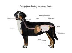 Educatieve, realistische illustratie spijsvertering hond