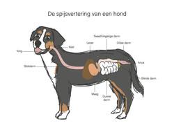 Educatieve illustratie spijsvertering hond