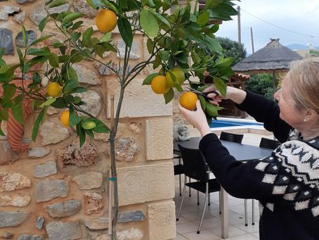 Erste Orangenernte