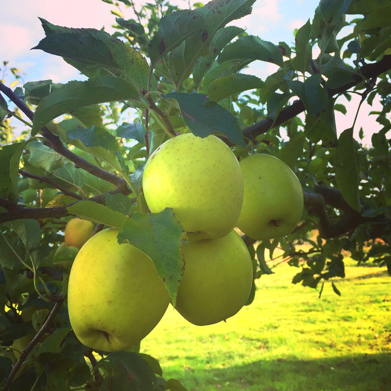 Lunkaberg epler 1