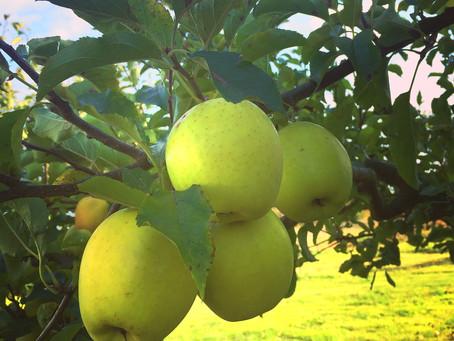 Äppelskörd blir äppelmos