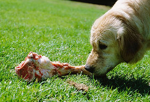photolibrary_rf_photo_of_dog_eating_bone