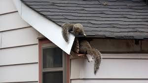 Montreal squirrel exterminator 514-915-3601 | Emergency squirrel exterminator | How to get rid a squirrel in the house | Squirrel in a fireplace