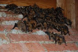 Montreal bat exterminator | Bat removal services | How to get rid of bat in the house | Emergency bat eviction Montreal