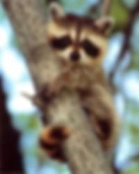 Montreal raccoon exterminator