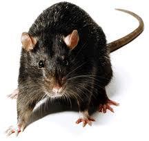 Montreal rat exterminator