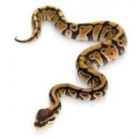 Exterminateur extermination serpent Montréal | Capture serpent dans la maison 514-915-3601 | Exterminateur serpent couleuvre Laurentides 514-915-3601