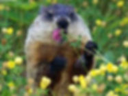 Montreal groundhog exterminator, gopher removal, woodchuck trapper Montreal