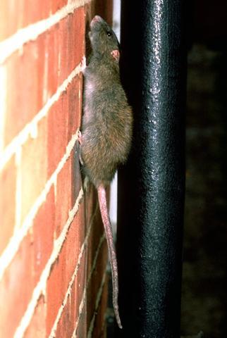 urgence exterminateur rat montréal | rat dans la maison | problème