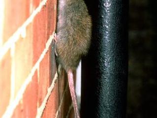 Urgence exterminateur rat Montréal | Rat dans la maison | Problème rat dans la maison