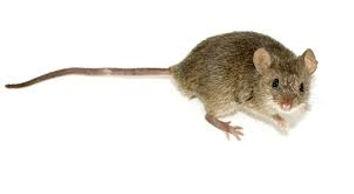 Exterminateur extermination souris mulot Montréal | Capture souris sans poison Montréal 514-915-3601