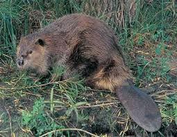 Trappeur castor | Problème barrage castor | Capture humanitaire castor | Capture vivante de castor | Cube Morency