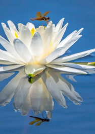 Reflections of a Lily