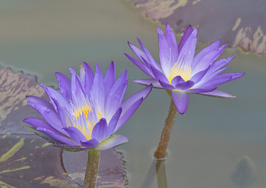 Early Morning Water Lily