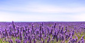 10 Health Benefits of Lavender Essential Oil