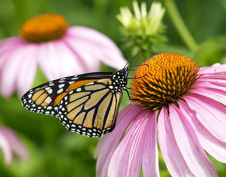 Monarch.coneflower.jpg