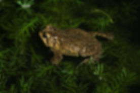 Night Toads 5.26.14.jpg