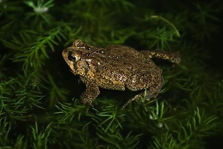 Night Toads 5.26.14.jpg