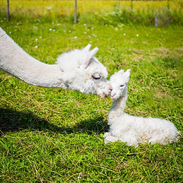 Portrait of a newborn cute baby alpaca a
