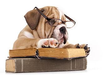 purebred english Bulldog in glasses and