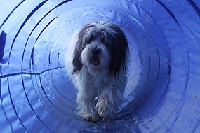hairy dog is walking in a agility tunnel