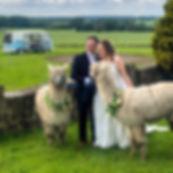 wedding alpacas.jpg