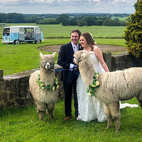 wedding alpacas.jpg