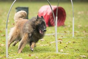 Dog,Belgian Shepherd Tervuren, running i