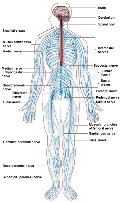 Nervous System Diagram of the Peripheral Nervous System for people with CMT Charcot Marie Tooth Disease