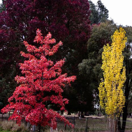 Autumn Trees- Potts Rd