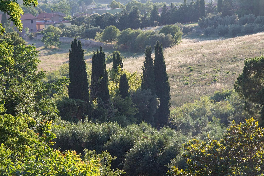 Cypresses Tarquinia Lazio