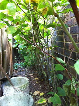 Rapid growth o Japanes knotweed