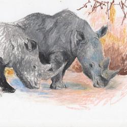 Diceros bicornis; Black rhinoceros