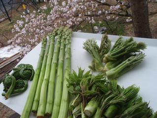 山で採れた山菜と旬のアスパラ