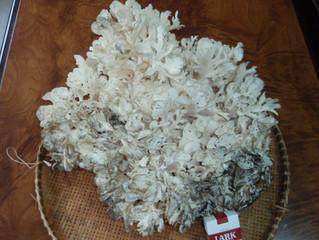 サンゴ礁のごとき天然の舞茸