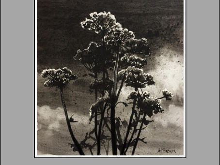 Cow Parsley On The Burrows.