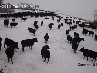 March (Calving) Madness is here!