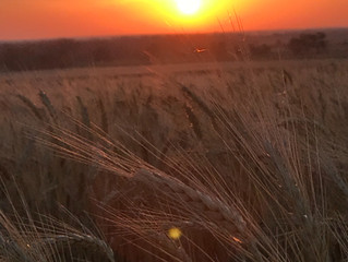 Harvesting on the Kansas/ Oklahoma border