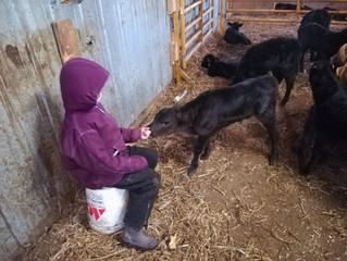 And a cattle loveris born...